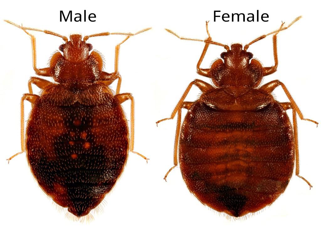 Identifying bedbugs